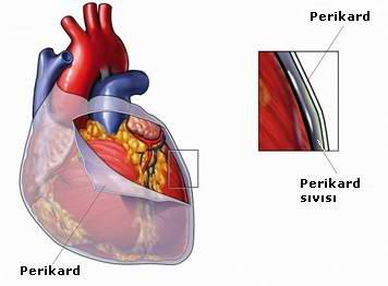 Foto 2: Kalbin önden ve içten görüntüleri